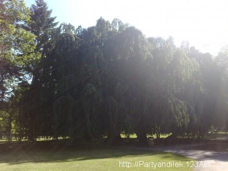 Fotka Opičáku, vyznámného stromu v Lipníku nad Bečvou.
